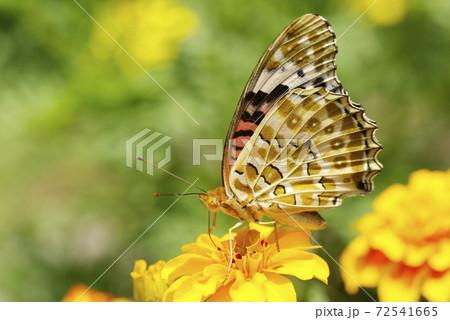 花の蜜を美味しそうに啄むツマグロヒョウモンチョウ 72541665