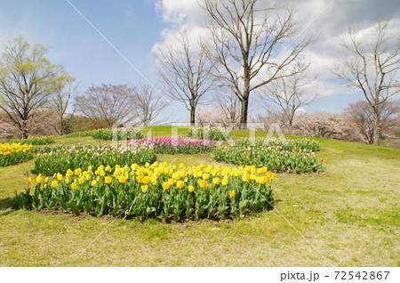 晴れの日、春爛漫金色の様に輝く黄色いチューリップ畑 72542867