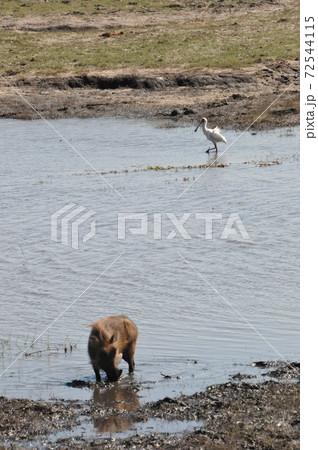 ボツワナのチョベ国立公園サファリ、イボイノシシとヘラサギ 72544115