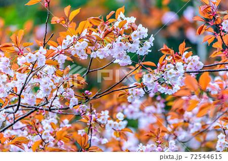 見事に咲いた屋久島のヤマザクラ。桜・環境・エコのイメージ表現 72544615