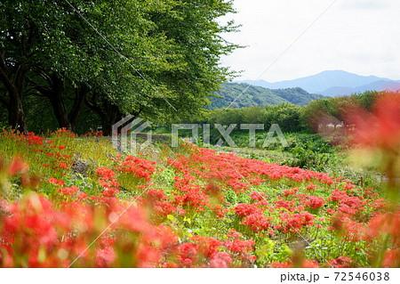 赤い花が前ボケの空と山と川が背景の川沿い遊歩道の彼岸花群生 72546038