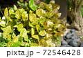 鮮やかなハツユキカズラの緑と庭の石 72546428