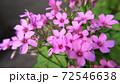 オキザリス~ピンク色の野草(カタバミ) 72546638