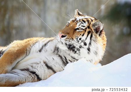 雪上のアムールトラ 72553432