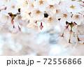 夕日に照らされた満開の桜(コピースペースあり) 72556866