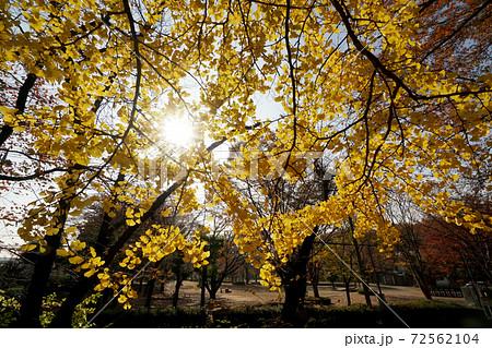 黄色いイチョウがきれいな秋の与野公園 72562104