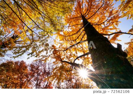 メタセコイアとケヤキの紅葉 与野公園 72562106