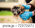 Woman in latex gloves stroking shih tzu dog on city street 72572071