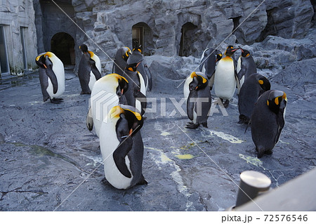 キングペンギンの群れ 旭山動物園 72576546