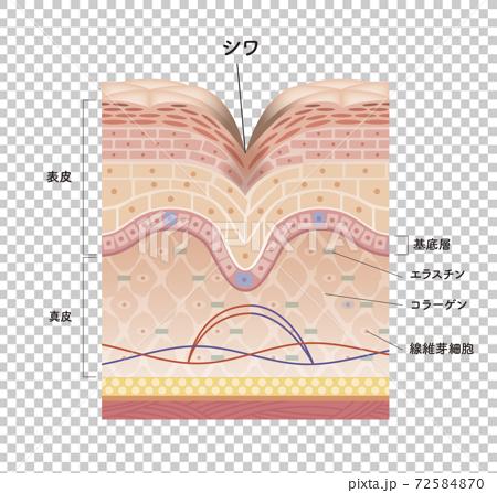 皮膚 人體皮膚 斷面圖 72584870