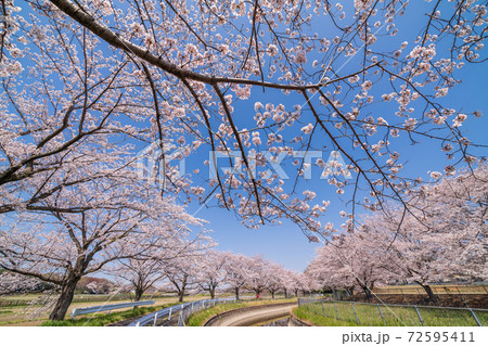 「埼玉県」見沼田んぼの桜回廊 春 72595411