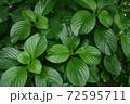 夏の玉川上水緑道沿いの風景(東京・2020年夏) 72595711