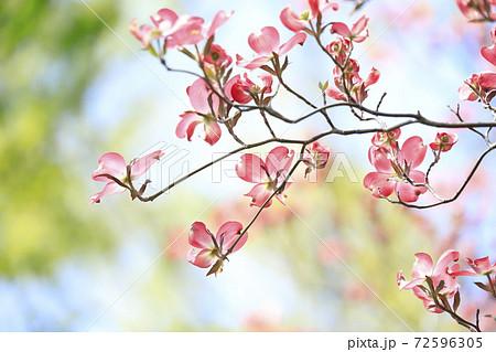 ピンク色のハナミズキと青空 72596305