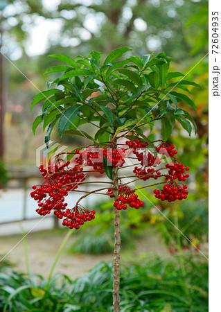 マンリョウの赤い実 太宰府天満宮 72604935