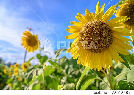 青空のひまわり畑、夏の暑い日に|sunflower 72612207