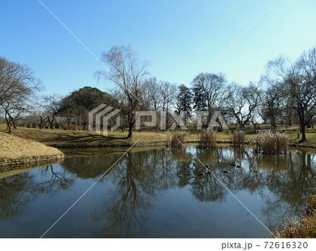 鴨の群れがいる御所沼/古河公方公園(古河総合公園)/茨城県 72616320