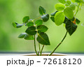 Rose plant with gentle leaves in pot on green background 72618120
