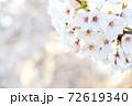 夕日に照らされた右上接写桜の花(コピースペースあり) 72619340
