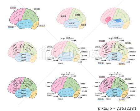 脳の名称のイラストセット_脳回_脳溝_色分け 72632231