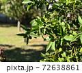 南米のオリーブ畑のオリーブ 72638861