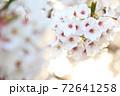 夕日に照らされた接写桜の花 72641258