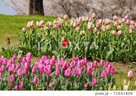 ピンクのチューリップの花壇に気高く咲く真っ赤なチューリップの一輪の花 72641809