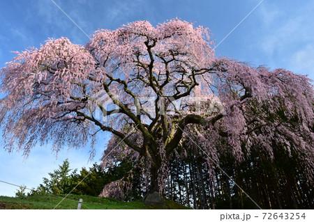 青空に映える高台に咲く一本桜 山梨の乙ヶ妻の枝垂れ桜 72643254