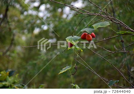 烏瓜の有る秋風景(緑背景) 4個の真っ赤な烏瓜 72644040