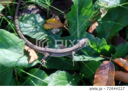 爬虫類:カナヘビ:ニホンカナヘビ:山田池公園 72644227