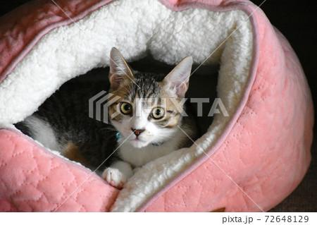 猫ベッドから飼い主を見つめるサバトラの仔猫 72648129