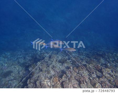 沖縄県恩納村真栄田岬の透明度の高い海を泳ぐ魚 72648793