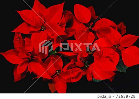 クリスマスの花のポインセチア 72659729