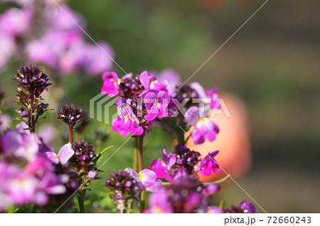 グッピー・リナリアの赤い花と雨雫 72660243