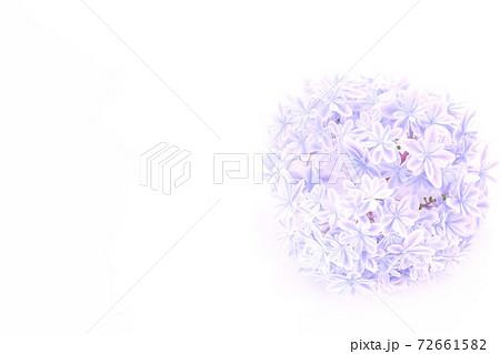 背景素材 明るい青色のアジサイ 万華鏡という品種 白背景 72661582