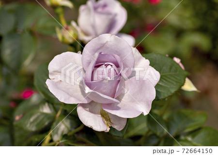 日本で満開のバラの花のクローズアップ 72664150