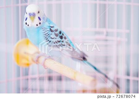 【ペット】籠の中のセキセイインコ 72678074