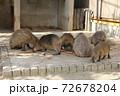 食事をするカピバラの群れ 72678204