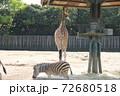 シマウマとキリンの体格差 72680518