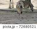 シマウマの歩き方 72680521