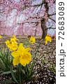 鈴鹿の森庭園 スイセン 72683089