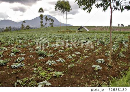 インドネシア、ジャワ島高地での野菜畑 72688189