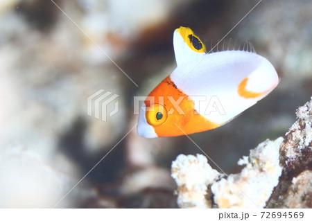 「何か用ですか?」と言いたそうな顔をしている、イロブダイの幼魚 72694569