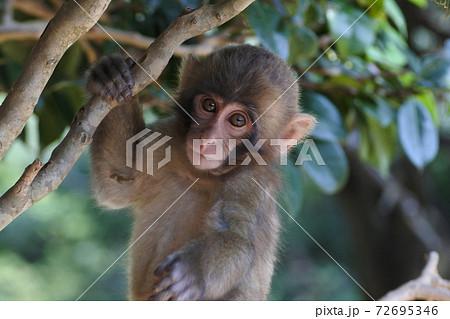 ニホンザルの子猿 枝に捕まって好奇心いっぱいの正面の顔。上半身 72695346