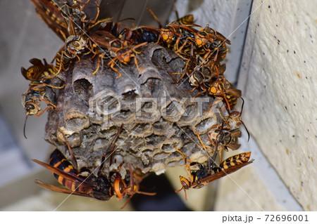 ヒメスズメバチに襲われるセグロアシナガバチの巣 72696001