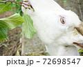 ヤギの食事風景 72698547