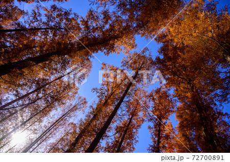 針葉樹の紅葉 72700891