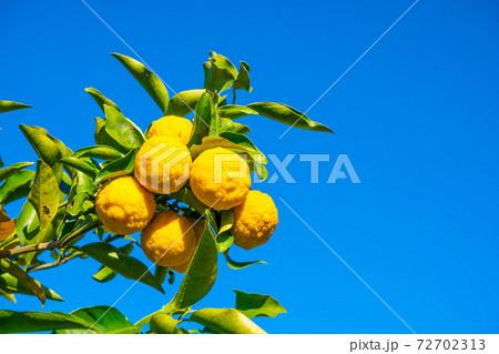 無農薬栽培の柚子 72702313