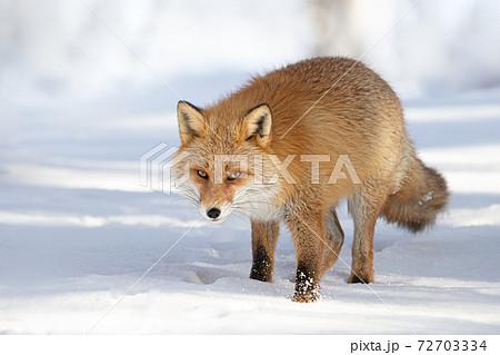 キタキツネ 冬 雪の中 北海道 72703334
