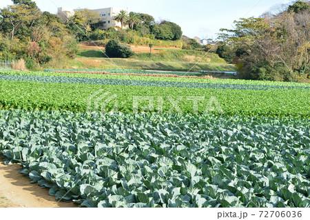 緑のじゅうたん 緑の野菜の段々畑 72706036