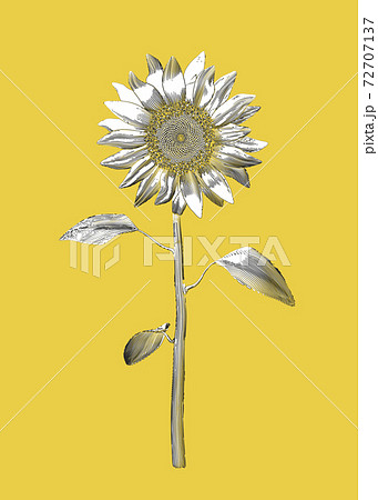Monochrome sunflower vintage illustration drawing isolated on yellow BG 72707137